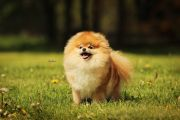 Pomeranian LIGHT FLOCK RUNNING VICTORY