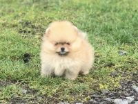 Pomeranian puppies